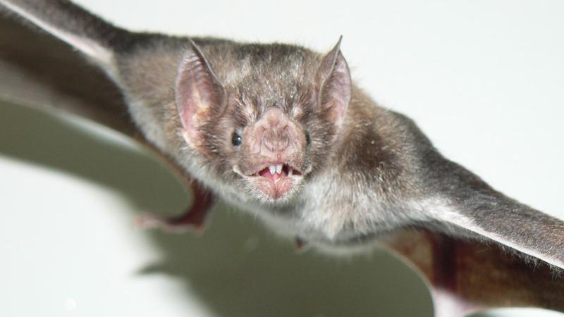 La rabia paresiante es una enfermedad epidémica y recurrente causada por el virus rábico transmitido por el vampiro común Desmodus Rotundus